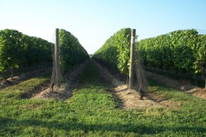 800px-north_fork_-_vineyards_03